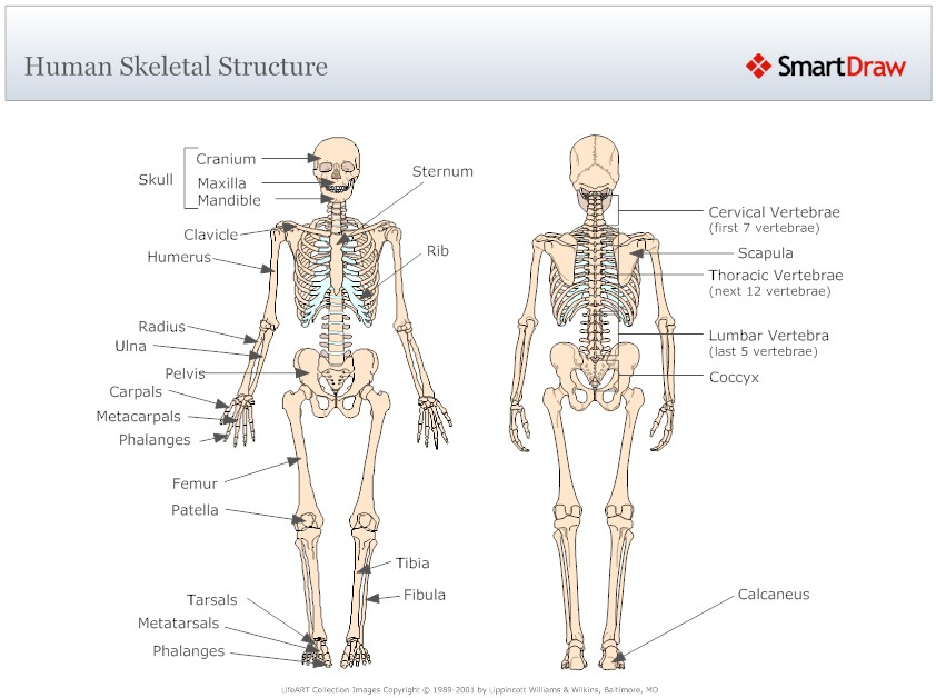 Diagram The Skeletal System
